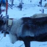 Стада оленей найдены с помощью ГЛОНАСС-ошейников