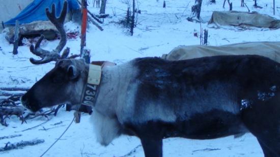 Вожак стада оленей с ГЛОНАСС-ошейником