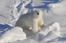 Чукотка: Беспилотники будут следить за белыми медведями